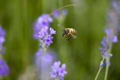 Flower and a bee flying to it Stock Photography