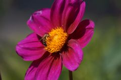 A flower and a bee - Front view stock photo