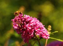 Flower and bee Royalty Free Stock Image