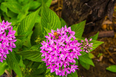 The flower and the bee. A bee on the flower in the Hawaii Royalty Free Stock Photo