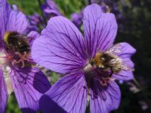 Flower, Bee, Honey Bee, Purple Stock Photography