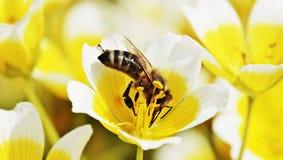 Flower, Bee, Honey Bee, Yellow Royalty Free Stock Photo