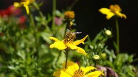 Flower, Bee, Honey Bee, Yellow