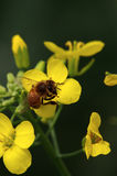 Flower and bee. Honey bee on yellow flower collecting pollen Royalty Free Stock Images
