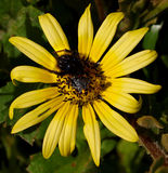Flower and bee. Bee imitating spider on flower Royalty Free Stock Photography