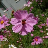 Flower with a bee. In this picture are pink flowers, on one flower is a bee Royalty Free Stock Image