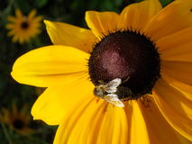 Flower with bee. This picture shows a bee sitting on a flower Royalty Free Stock Photo