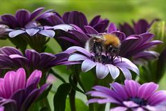 Flower, Bee, Purple, Honey Bee Royalty Free Stock Photos