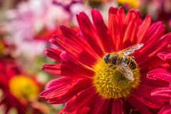 Flower with a bee. Red flower with a bee on it Royalty Free Stock Photos