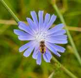 Flower and bee Stock Photography