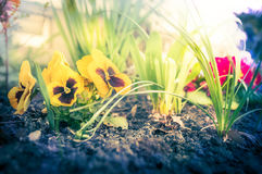 Flower beet in garden with heartsease and soil, toned Stock Photos