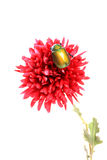 Flower and beetle Stock Photos