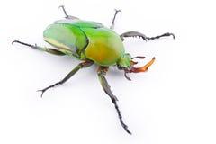 Flower Beetle Royalty Free Stock Image