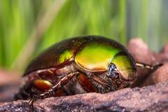 Flower Beetle (Anomala dimidiata) Royalty Free Stock Photos