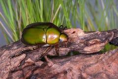 Flower Beetle (Anomala dimidiata) Royalty Free Stock Photo