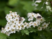 Flower beetle on blooming whitethorn Stock Photo