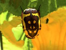 Free Flower Beetle Eating Pumpkin Flowers Royalty Free Stock Images - 119588849