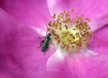 Flower Beetle Stock Photography