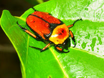 Flower Beetle in Queensland Australia Stock Image
