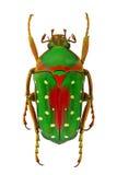Flower beetle Stephanorrhina guttata Royalty Free Stock Images