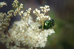 Flower beetle on white flower Stock Photos