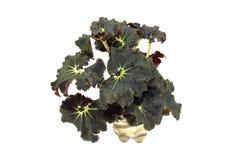 Flower begonia Dark Mambo isolated on white background Royalty Free Stock Image