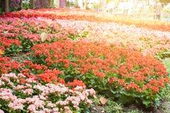 Flower of begonia garden Stock Photography