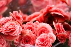 Bouquet of pink begonia solenia flower   royalty free stock image