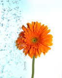 Flower being irrigate  on light blue Stock Photo