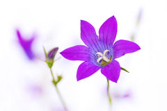 Flower bell. Lilac meadow flower bell on a white background royalty free stock photography