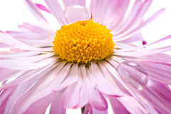 A flower is Bellis with the drop of dew Stock Image