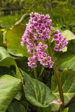Flower Bergenia. Flowers and leaves Bergenia on the flowerbed Stock Photography