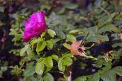 Flower and berry of dog-rose (rosehip) on a bush Stock Photos