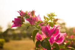 Flower. A beutiful flower at sunset Stock Image