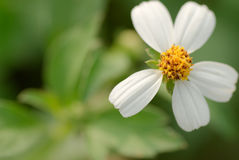 Flower of Bidens Royalty Free Stock Photos