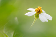 Flower of Bidens Stock Photos