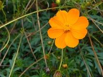 Flower Bidens Royalty Free Stock Photos