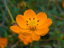 Flower Bidens Royalty Free Stock Photography