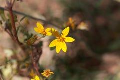 Flower of Bidens pachyloma Stock Photography