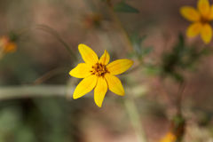 Flower of Bidens pachyloma Stock Images