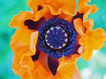 Flower of big garden poppy. Close up Stock Images