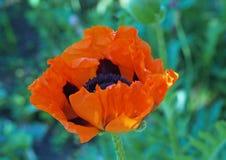 Flower of big garden poppy. Close up Royalty Free Stock Photo