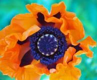 Flower of big garden poppy. Close up Royalty Free Stock Image