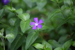 Flower of the Bigleaf Periwinkle Stock Photography