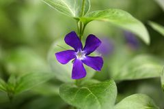 Flower of the Bigleaf Periwinkle Royalty Free Stock Image