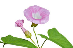 Flower of bindweed 1 Stock Photos