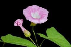 Flower of bindweed 2 Stock Image
