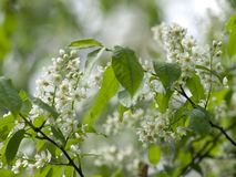Flower of bird-cherry after rain Royalty Free Stock Images