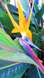 Strelitzia reginae Flower. Bird of paradise Royalty Free Stock Photography