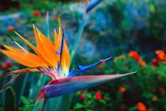Flower Bird of Paradise. Decorative evergreen plant of a Strelitzia Reginae, crane flower or bird of paradise flower. Found in a garden in the Monchique Stock Photography
